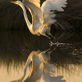 Sharon Ely - Great Egret