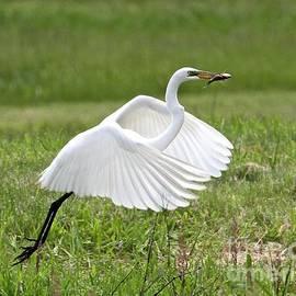Robin Erisman - Great Egret Symphony