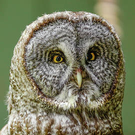 Morris Finkelstein - Great Gray Owl Portrait