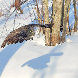 Asbed Iskedjian - Great Gray Owl