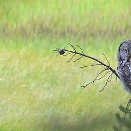 Alea Photography - Great Grey Owl