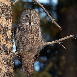 Jestephotography Ltd - Great Grey Owl - Boreal Hunter