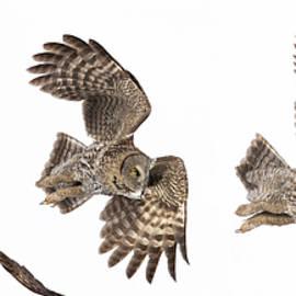 Mircea Costina Photography - Great Grey Owl Hunting