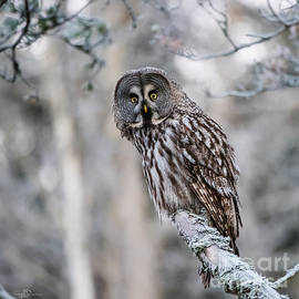 Torbjorn Swenelius - Great Grey Owl