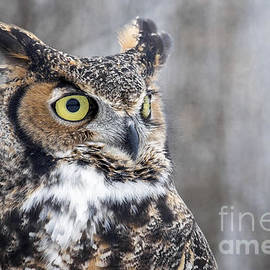 Angie Rea - Great Horned Owl