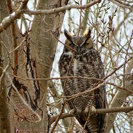 Connor Beekman - Great Horned Owl