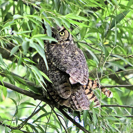 Ricky L Jones - Great Horned Owl Looking at You