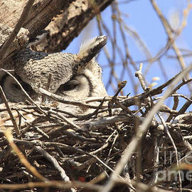 Vickie Emms - Great Horned Owl Nesting