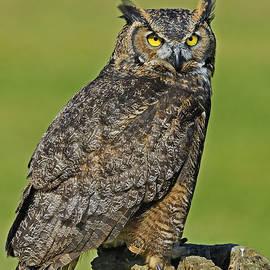 Nina Stavlund - Great Horned Owl...