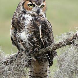 Myrna Bradshaw - Great Horned Owl on watch