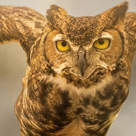 Peggy Blackwell - Great horned owl