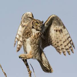 Tony Hake - Great Horned Owl Starts its Launch