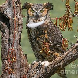 Susan Grube - Great Horned Owl