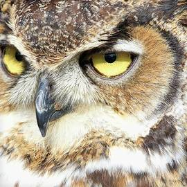 Steve McKinzie - Great Horned Owl Up Close