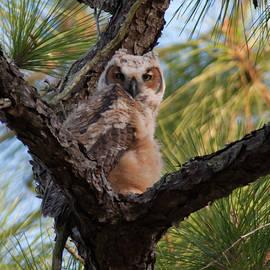Paul Rebmann - Great Horned Owlet