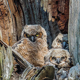 Morris Finkelstein - Great Horned Owlets Watching