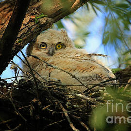 Vickie Emms - Great Horned Owlette