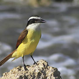 Teresa Zieba - Great Kiskadee