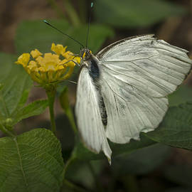 F Leblanc - Great Southern White Butterfly