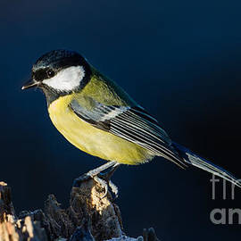 Torbjorn Swenelius - Great Tit on the Stump