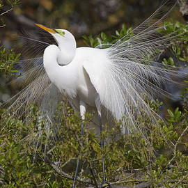 Jack Nevitt - Great white Egret Display