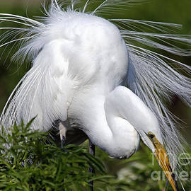 Mary Lou Chmura - Great White Egret Displaying Plumage