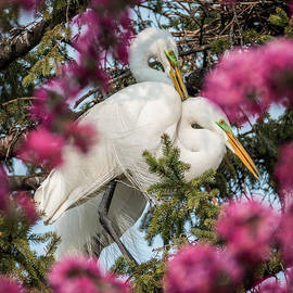 Patti Deters - Great White Egrets Pink Spring Tree Blossoms 2/3