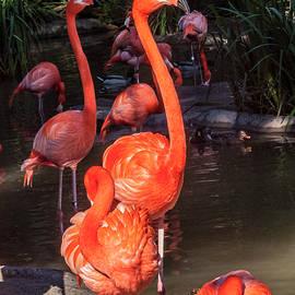 Daniel Hebard - Greater Flamingo