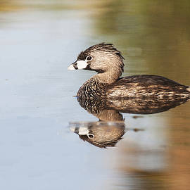 Ruth Jolly - Grebe on calm lake
