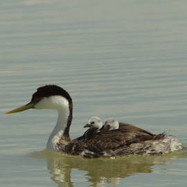 Jeff  Swan - Grebe with two chicks on its back