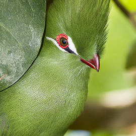 Bob Slitzan - Green Turaco Bird Portrait