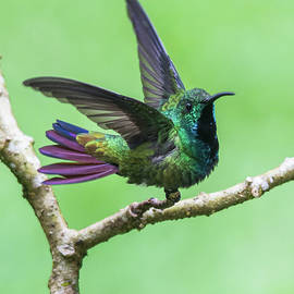 Mauro Roman - Green-breasted mango hummingbird