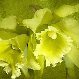Phyllis Denton - Green Glow Orchids