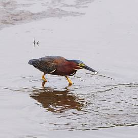 Al Powell Photography USA - Green Heron Fishing