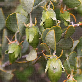 Tom Janca - Green Jojoba Seed Capsuels