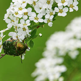 Jouko Lehto - Green rose chafer