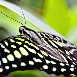 Amy McDaniel - Green Spotted Tailed Jay Butterfly