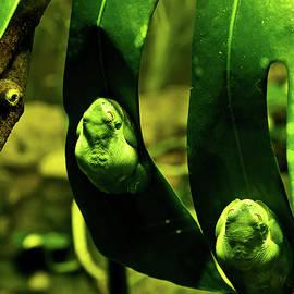 Miroslava Jurcik - Green Tree Frog