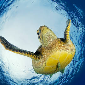 Henry Jager - Green Turtle Just Below Surface