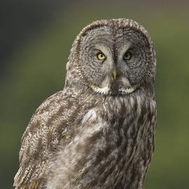 Doug Herr - Great Gray Owl portrait