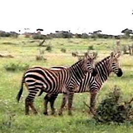 Jay Milo - Grevy Zebra Tsava National Park Kenya