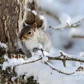 Amy Porter - Grey Squirrel in Winter