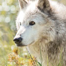 Athena Mckinzie - Grey Wolf In The Summer Sun