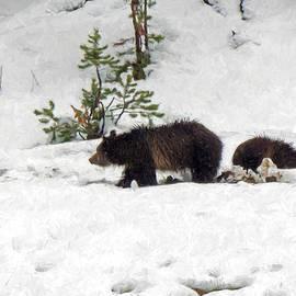Jayne Wilson - Grizzlies in the Snow