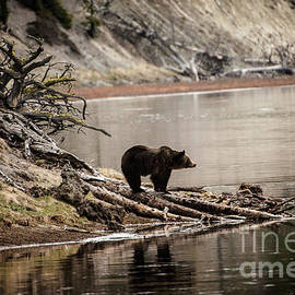 Wildlife Fine Art - Grizzly in Yellowstone