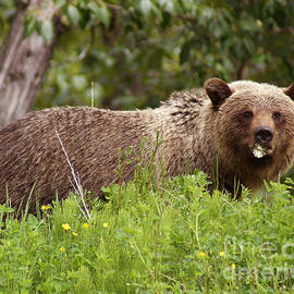 Stanza Widen - Grizzly With A Dandelion