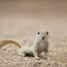 Ground Squirrel I see you