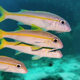 Group of Goatfish