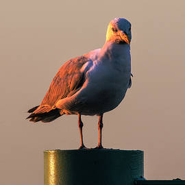 Marty Saccone - Gull Atop Piling at Sunset