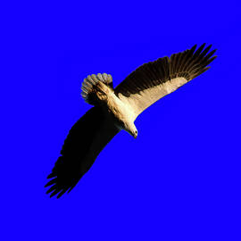 Miroslava Jurcik - Haliaeetus leucogaster - White-bellied Sea-Eagle